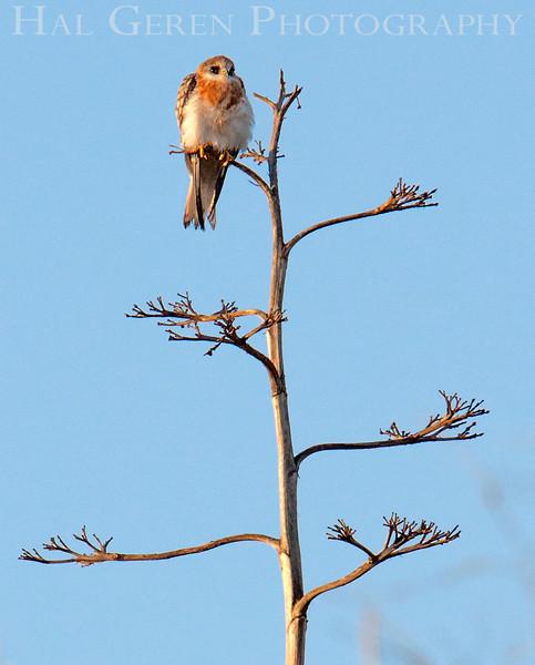 Juvenile Kite<br /> Don Edwards Natl Wildlife Refuge<br /> Fremont, California<br /> 1206R-JK2