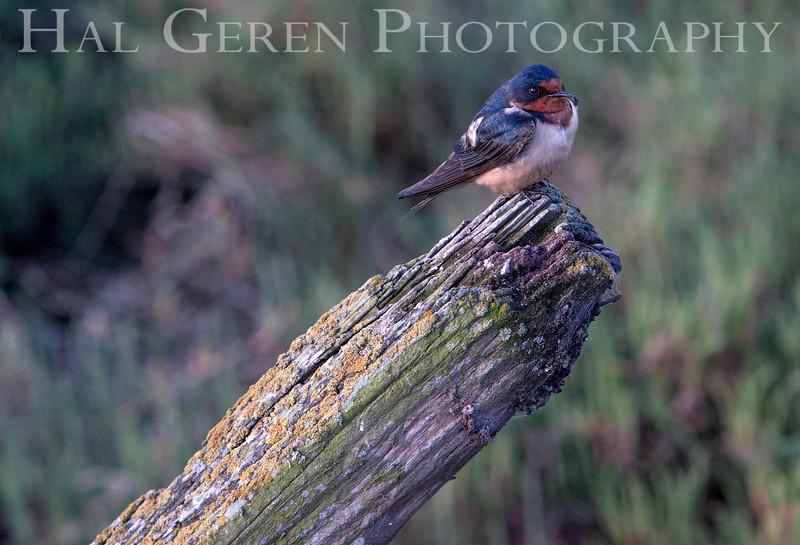 Swallow<br /> Don Edwards Natl Wildlife Refuge<br /> Fremont, California<br /> 1205R-S2