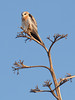 Juvenile Kite<br /> Don Edwards Natl Wildlife Refuge<br /> Fremont, California<br /> 1206R-K6