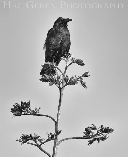 Crow<br /> Don Edwards Natl Wildlife Refuge<br /> Fremont, California<br /> 1206R-CT1