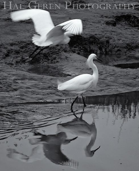 Snowy Egrets<br /> Don Edwards Natl Wildlife Refuge<br /> Fremont, California<br /> 1206R-SE1BW1