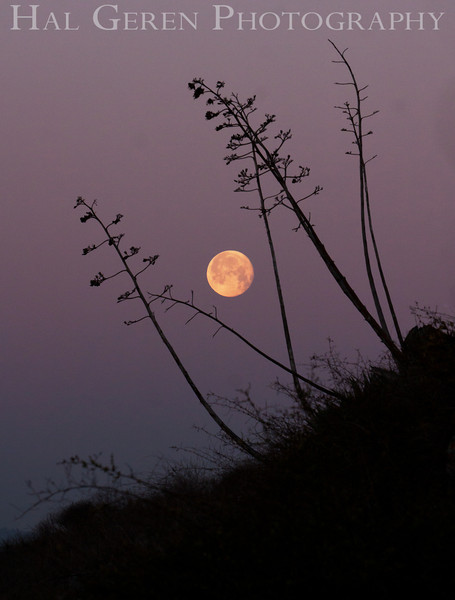 Moon Through Agave<br /> Don Edwards Natl Wildlife Refuge, Fremont, CA<br /> 1203R-MTA1