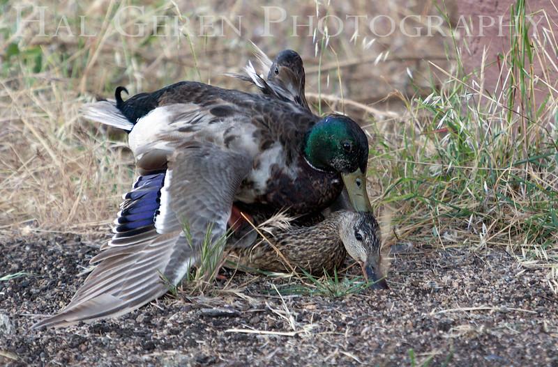 Duck Love<br /> Don Edwards Natl Wildlife Refuge<br /> Fremont, California<br /> 1206R-DP1