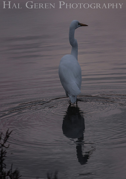 Great Egret<br /> Don Edwards National Wildlife Refuge, Fremont, California<br /> 1211R-SE1