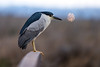 Black Crowned Night Heron<br /> Don Edwards Natl Wildlife Refuge<br /> Fremont, California<br /> 1206R-BCNH2