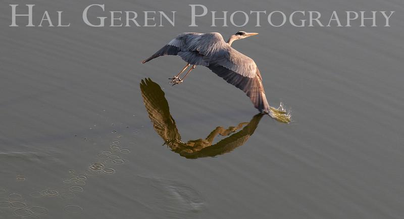 Great Blue Heron<br /> Don Edwards Natl Wildlife Refuge<br /> Fremont, California<br /> 1204R-GBH2A