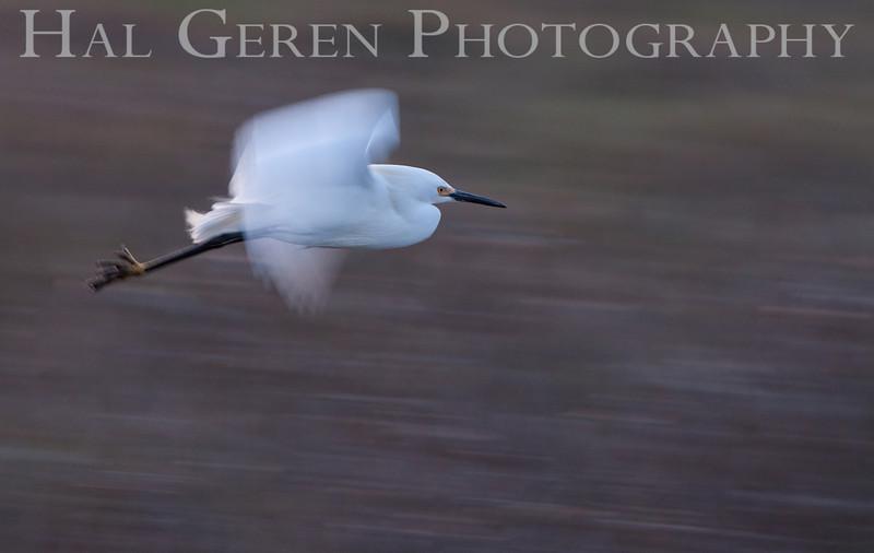 Snowy Egret Flight<br /> Don Edwards Natl Wildlife Refuge<br /> Fremont, California<br /> 1205R-SEF1