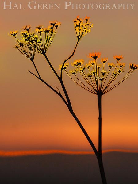 Fennel<br /> Don Edwards National Wildlife Refuge, Fremont, California<br /> 1209R-FBE1