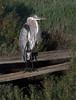Great Blue Heron<br /> Don Edwards Natl Wildlife Refuge<br /> Fremont, California<br /> 1206R-BH1