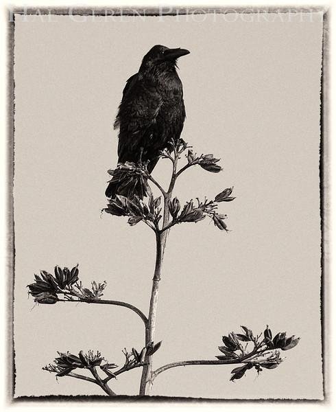 Crow<br /> Don Edwards Natl Wildlife Refuge<br /> Fremont, California<br /> 1206R-C4BW2