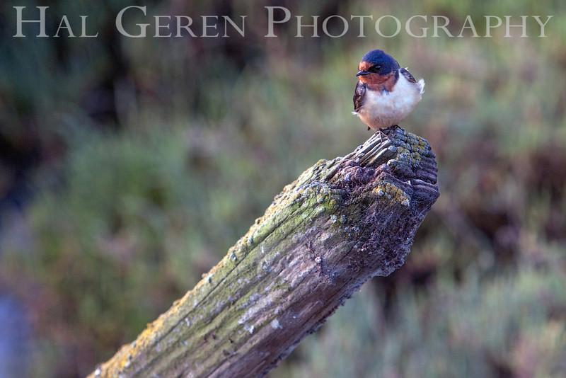 Swallow<br /> Don Edwards Natl Wildlife Refuge<br /> Fremont, California<br /> 1205R-S1