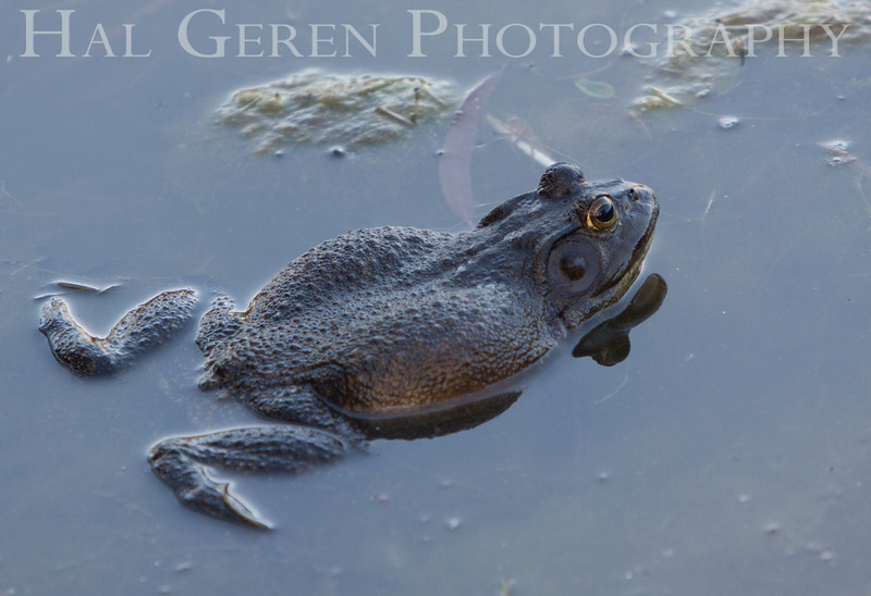 Bullfrog<br /> Don Edwards Natl Wildlife Refuge<br /> Fremont, California<br /> 1106R-B1