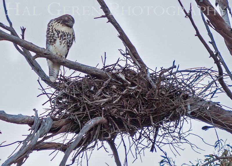 Red Tailed Hawk on Nest<br /> Don Edwards Natl Wildlife Refuge<br /> Fremont, California<br /> 1206R-RTHON1