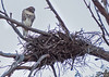 Red Tailed Hawk on Nest<br /> Don Edwards Natl Wildlife Refuge<br /> Fremont, California<br /> 1206R-RTHON1