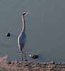 Great Blue Heron<br /> Don Edwards Natl Wildlife Refuge<br /> Fremont, California<br /> 1204R-GBH3