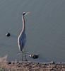 Great Blue Heron<br /> Don Edwards Natl Wildlife Refuge<br /> Fremont, California<br /> 1204R-GBH3