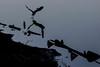 Great Blue Heron Takeoff<br /> Don Edwards Natl Wildlife Refuge<br /> Fremont, California<br /> 1204R-GHT1