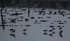 Ring Necked Stilts<br /> Don Edwards National Wildlife Refuge, Fremont, California<br /> 1209R-RNS1