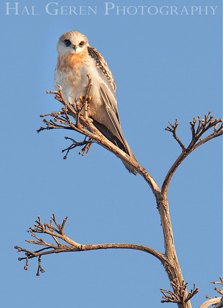 Juvenile Kite<br /> Don Edwards Natl Wildlife Refuge<br /> Fremont, California<br /> 1206R-K3