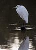 Great Egret<br /> Don Edwards National Wildlife Refuge, Fremont, California<br /> 1209R-GE3