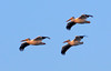 Pelican Flight<br /> Don Edwards Natl Wildlife Refuge<br /> Fremont, California<br /> 1206R-PF1
