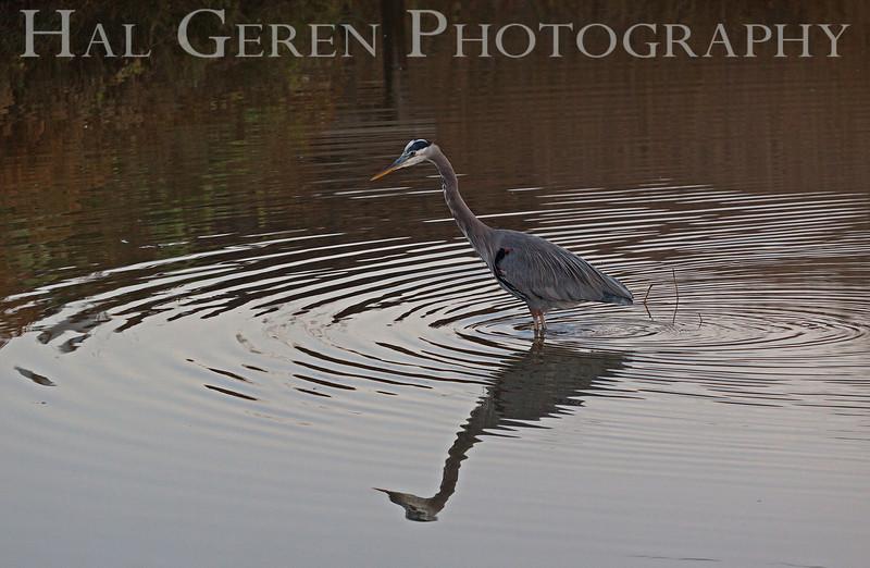 Great Blue Heron<br /> Don Edwards Natl Wildlife Refuge, Fremont, CA<br /> 1111R-GBH3