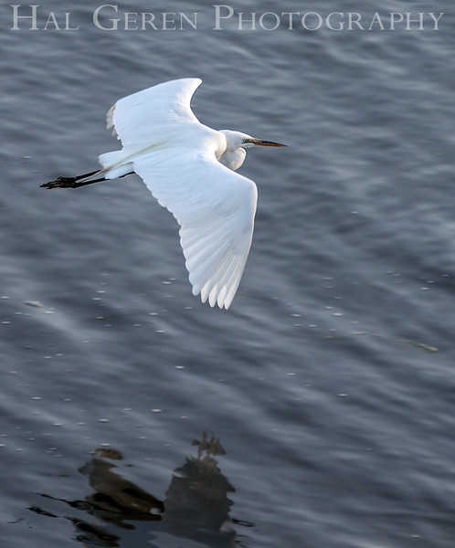 Great Egret Flight<br /> Don Edwards Natl Wildlife Refuge<br /> Fremont, California<br /> 1206R-GEF1