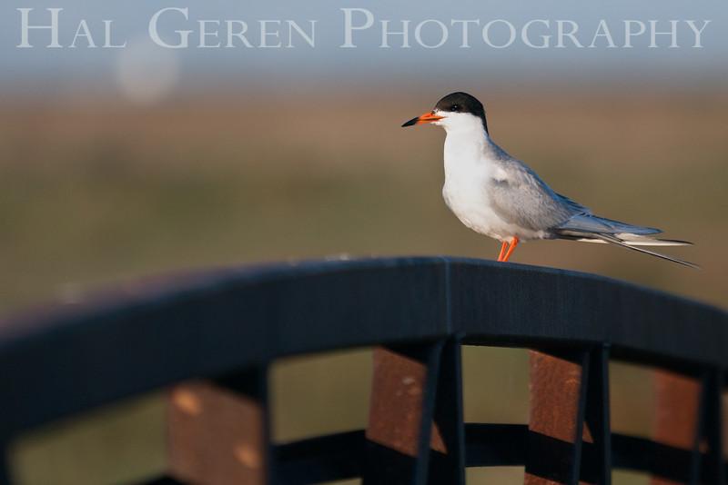 Common Tern<br /> Don Edwards Natl Wildlife Refuge<br /> Fremont, California<br /> 1206R-CT1