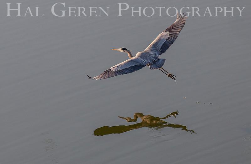 Great Blue Heron<br /> Don Edwards Natl Wildlife Refuge<br /> Fremont, California<br /> 1204R-GBH1