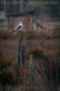 Kite Don Edwards National Wildlife Reserve Fremont, California 1310R-K1