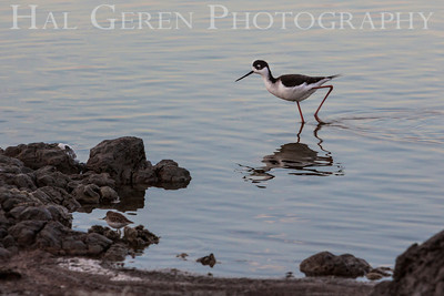 Ring Necked Stilt Don Edwards National Wildlife Reserve Fremont, California 1310R-BNS1