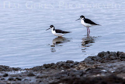 Ring Necked Stilts Don Edwards National Wildlife Reserve Fremont, California 1310R-RNS1