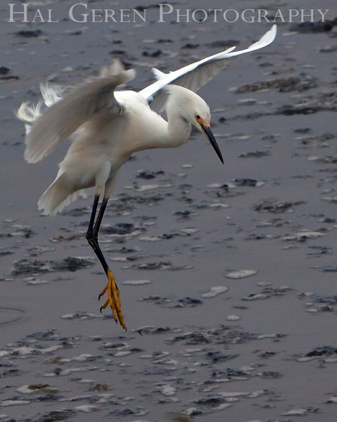 Snowy Egret Landing<br /> Don Edwards Nat'l Wildlife Refuge<br /> Fremont, California<br /> 1107R-SE2