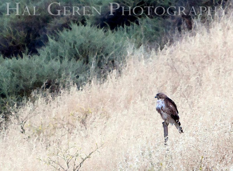 Red Tailed Hawk<br /> Fremont, California<br /> 1106R-RTH11E1