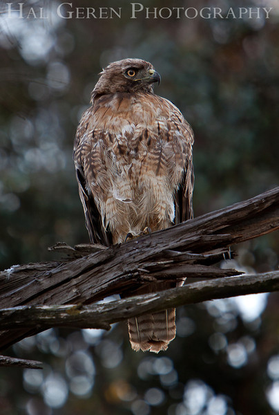 Red Tailed Hawk<br /> Don Edwards Nat'l Wildlife Refuge<br /> Fremont, California<br /> 1107R-RTH6