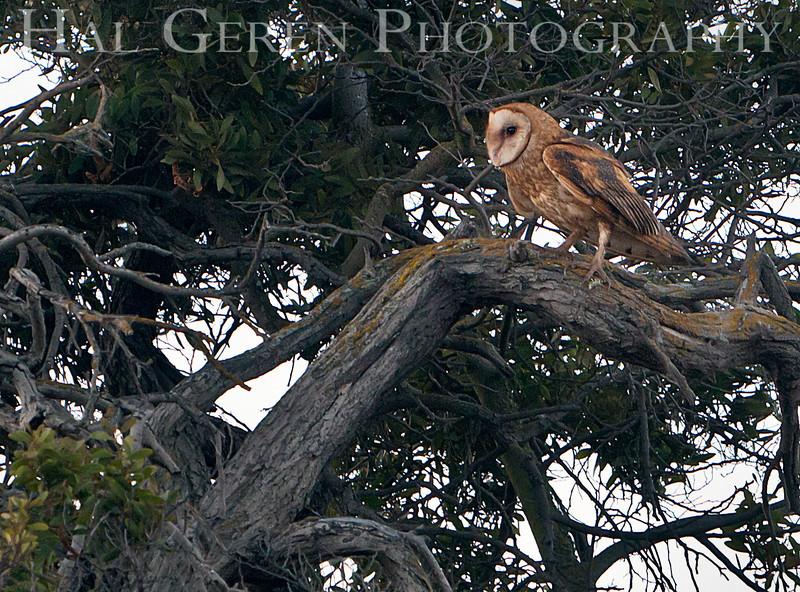 Barn Owl<br /> Don Edwards Nat'l Wildlife Refuge<br /> Fremont, California<br /> 1108R-BO10