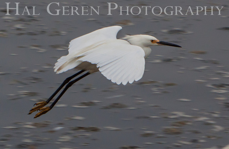 Snowy Egret Flight<br /> Don Edwards Nat'l Wildlife Refuge<br /> Fremont, California<br /> 1107R-SEF3