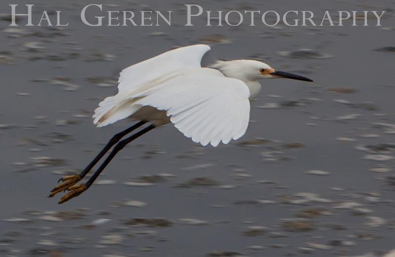 Snowy Egret Flight<br /> Don Edwards Nat'l Wildlife Refuge<br /> Fremont, California<br /> 1107R-SEF3