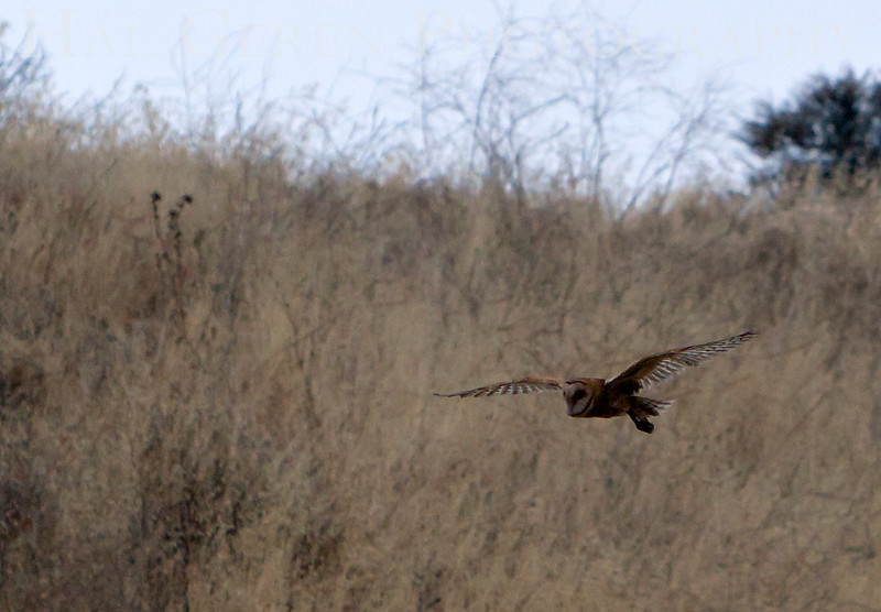 Barn Owl Flight<br /> Fremont, California<br /> 1108R-BO20