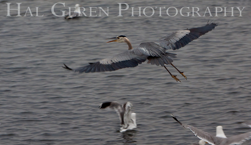 Blue Heron<br /> Don Edwards Nat'l Wildlife Refuge<br /> Fremont, California<br /> 1107R-BH1