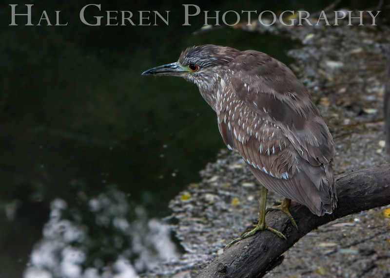 Black Crowned Night Heron Juvenile<br /> Fremont, California<br /> 1105LL-BCNHJ3
