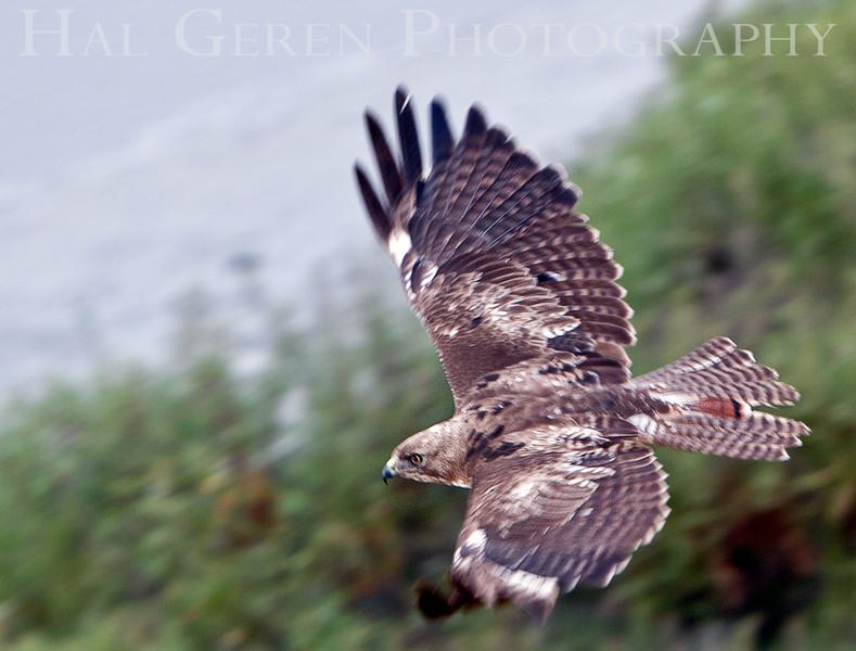 Red Tailed Hawk<br /> Don Edwards Nat'l Wildlife Refuge<br /> Fremont, California<br /> 1106R-RTH6E1
