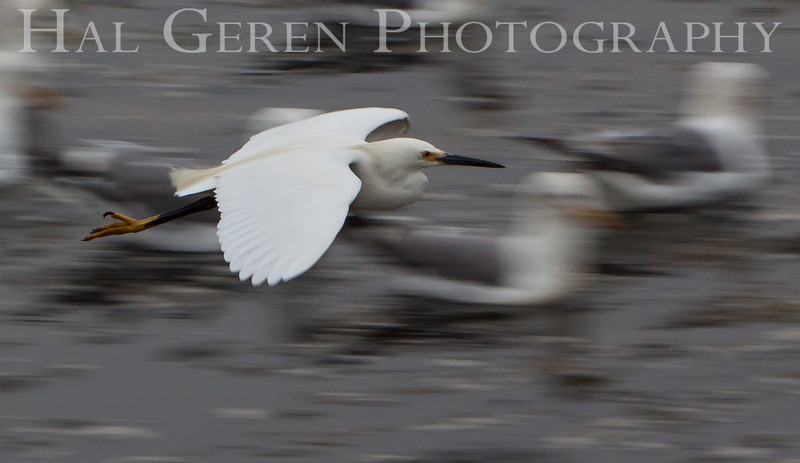 Snowy Egret Flight with Gulls<br /> Don Edwards Nat'l Wildlife Refuge<br /> Fremont, California<br /> 1107R-SEF4