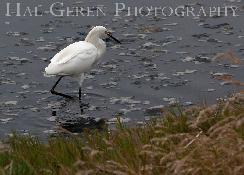 Snowy Egret<br /> Don Edwards Nat'l Wildlife Refuge<br /> Fremont, California<br /> 1107R-SE1