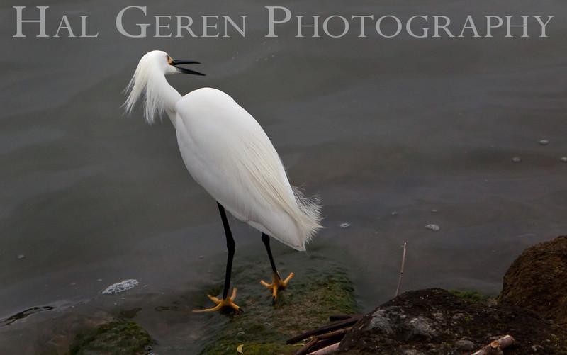 Snowy Egret<br /> Fremont, California<br /> 1105LL-SE2