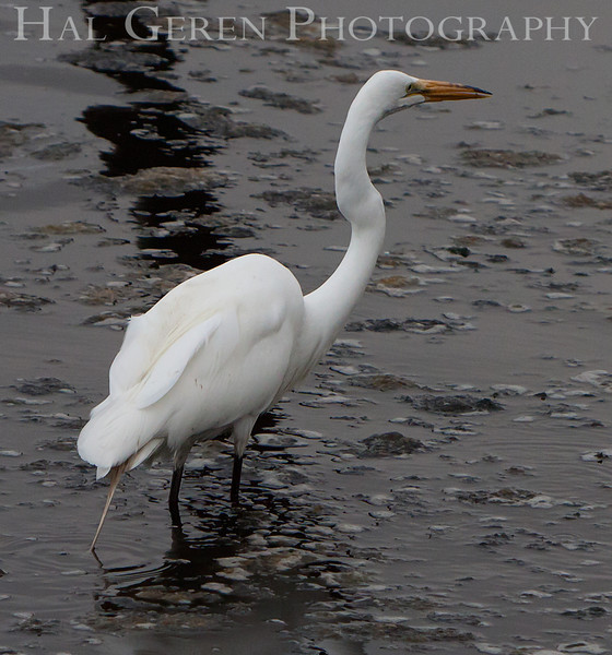Great Egret<br /> Don Edwards Nat'l Wildlife Refuge<br /> Fremont, California<br /> 1107R-GE1