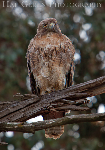 Red Tailed Hawk<br /> Don Edwards Nat'l Wildlife Refuge<br /> Fremont, California<br /> 1107R-RTH1