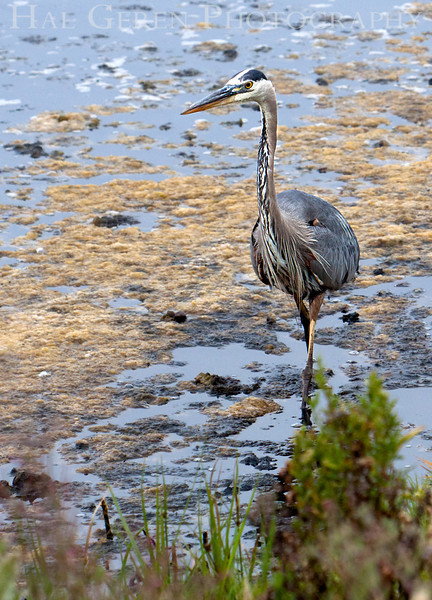 Blue Heron<br /> Don Edwards Nat'l Wildlife Refuge<br /> Fremont, California<br /> 1107R-BH5