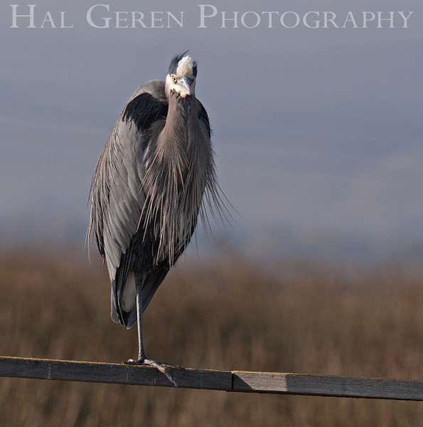 Great Blue Heron<br /> Alviso, California<br /> 1112B-GBH6