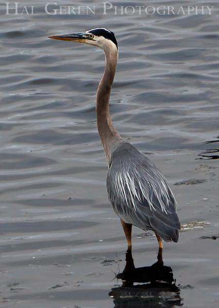 Blue Heron<br /> Don Edwards Nat'l Wildlife Refuge<br /> Fremont, California<br /> 1107R-BH3